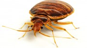Bed Bugs Exterimation