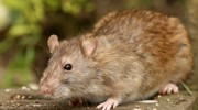 Mice, Rat & Rodent Control