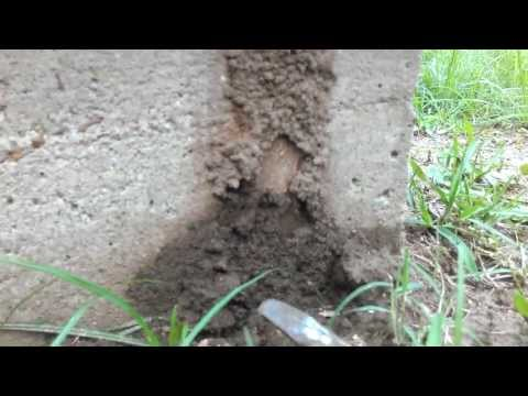 Formosan Termites coming up a slab foundation