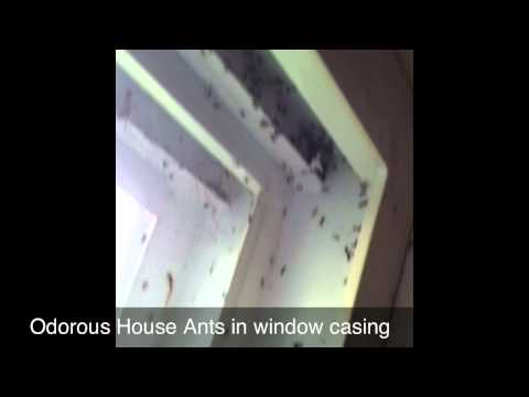 Odorous House Ants In Window Casing