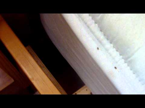Bed bugs dying in heat