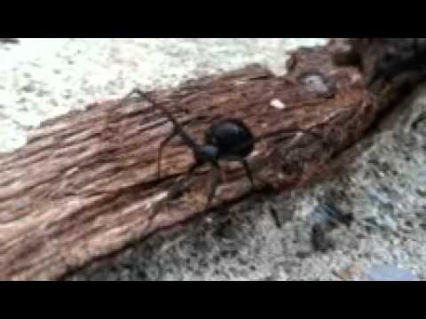 Angry black widow spider